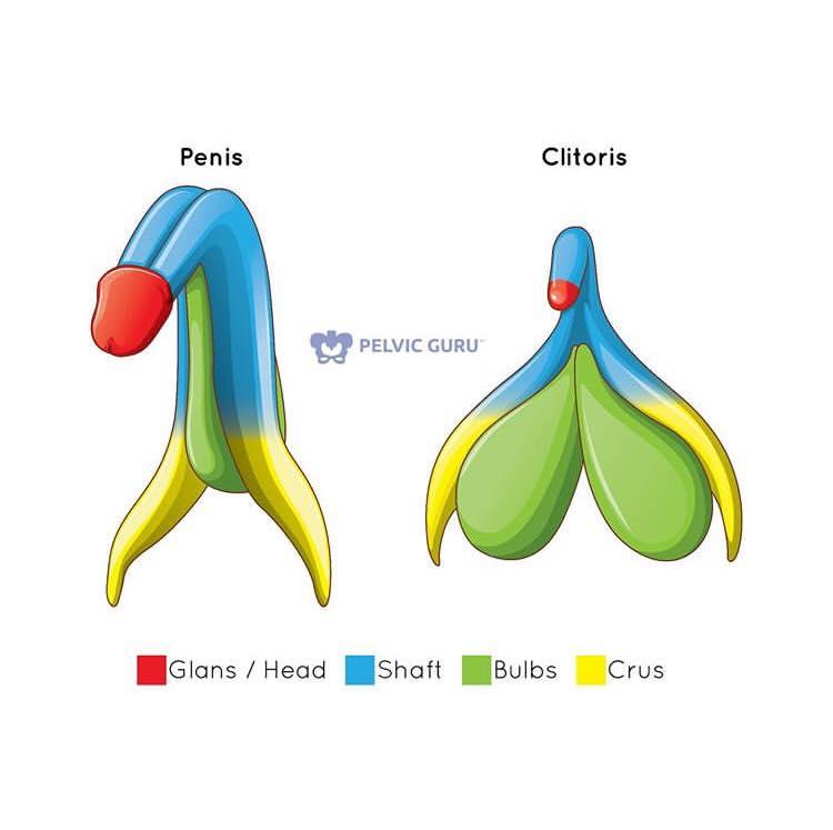 Penis og klitoris
